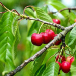 Some growers have been inquiring about reducing input costs for tart cherries, and this article is intended to be used a guide to help with season-long decision-making. (Courtesy of MSU Extension and Outreach)