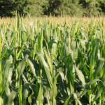 A trade dispute between the United States and China pushed U.S. corn prices down by about 20 cents per bushel from January to early May, 2019, a Kansas State University agricultural economist said. (Courtesy of K-State Research and Extension)