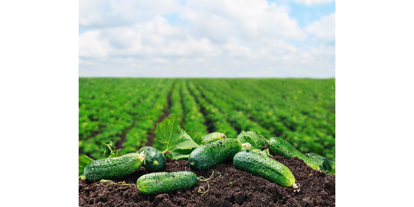 """Whether you enjoy cucumbers pickled, fresh or even sautéed, this member of the gourd family will keep you """"cool"""" this spring. (Courtesy of Colorado Department of Agriculture)"""