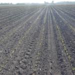 Corn emerging in a newly-planted field. (NDSU Photo)