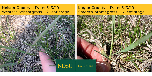 Despite what seemed like a late spring, grazing readiness seems to be on track across North Dakota. (NDSU photo)