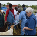 CUSP students learn how to give vaccinations to goats with instruction by Judy Bowmaster-Cole, veterinary technology associate professor. (Crawford/NCTA News)