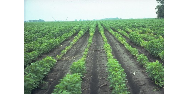 Soybean field with severe stunting and yellowing due to SCN. (Courtesy of ISU Extension and Outreach)