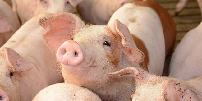 A bearish Hogs and Pigs report