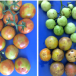 Iowa State University Seed Science Center (ISU-SSC) is working with SENASICA, the department of Agriculture in Mexico, to help identify and stop the spread of Tomato Brown Rugose Fruit Virus (ToBRFV). (Courtesy of Luria et al)