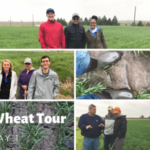More than 75 people from 25 U.S. states and 3 other countries traveled on six routes between Manhattan and Colby, Kan., Tuesday, stopping at wheat fields every 15-20 miles along the routes, as part of the Wheat Quality Council's 2019 Hard Winter Wheat Tour. (Courtesy of Kansas Wheat)
