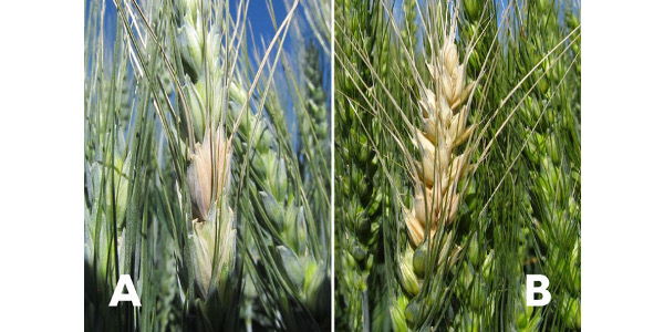Symptoms of Fusarium head blight begin as bleaching of single or multiple florets or spikelets (A) or bleaching of whole portions of the head (B). (Photo courtesy of Kaitlyn Bissonnette)