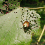 Japanese beetles enjoy dining on more than 300 host plant species. (Chuck Bargeron, University of Georgia, Bugwood.org)