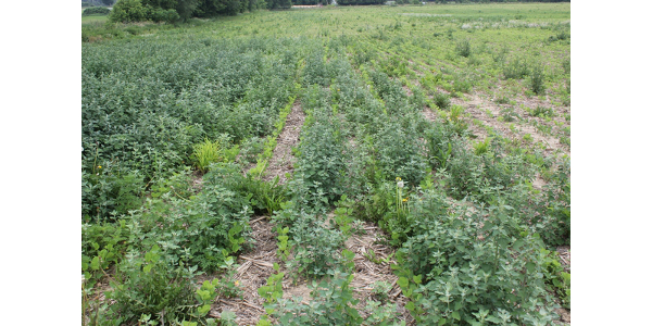 Lambsquarter weed in soybeans. (Photo by Bruce MacKellar, MSU Extension)