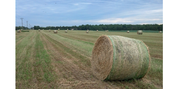 Round bales of first-cutting alfalfa hay rest in the field before being hauled into storage. (Photo by James DeDecker, MSU Extension)