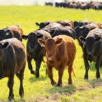 cattle (USDA NRCS Montana, Public Domain)