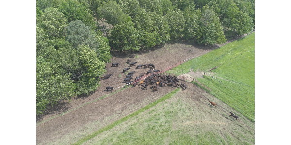 Fenceline method of weaning. (Pictures were taken with a drone by station superintendent David Cope)