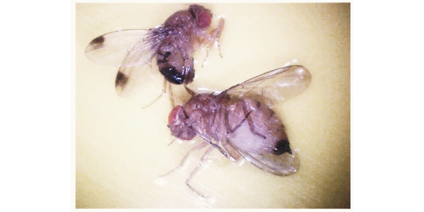 Female and male spotted wing Drosophila. (Photo by Carlos Garcia-Salazar, MSU Extension)