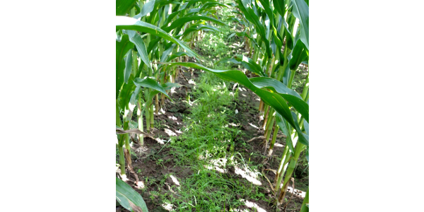 Annual rye and hairy vetch cover crops interseeded in the spring in standing corn. (Photo by Lisa Tiemann)