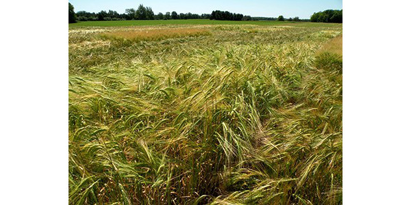 Barley research field. (Photo by MSU Extension)