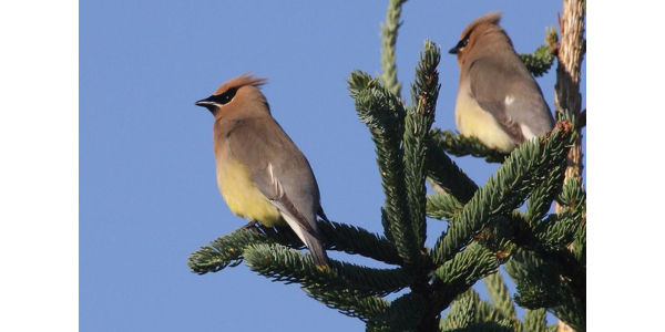 Cedar waxwings on evergreen. (Photo by Caleb Slemmons, National Ecological Observatory Network, Bugwood.org)