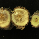 Figure 1. Petri disease symptoms in a young 'Pinot Noir' vine submitted for disease diagnosis. Note the internal wood discoloration and necrosis. Species of Phaeomoniella, Phaeoacremonium and Cytospora were isolated from this sample. (Courtesy of MSU Extension)
