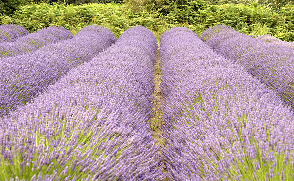 Master Gardener Lavender Wand Class set for July | Morning