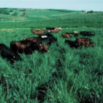 Native grasses provide adequate forage quality and quantity for stocker cattle to gain approximately 2 lbs. daily. (screenshot from flyer)