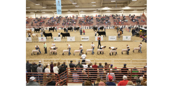 Legacy Livestock Photography captured exhibitor showing livestock during the 91st Aksarben Stock Show in Grand Island, Neb. Sept 2018. (Courtesy of Aksarben Stock Show)