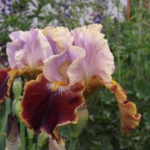 Bearded iris. (Courtesy of Sherie Caffey)