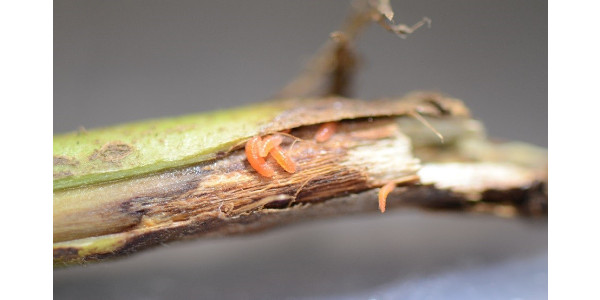Figure 1. Gall midge larvae and damage under soybean stem epidermis, Rock County, MN, 2018. (Courtesy of University of Minnesota Extension)