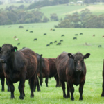 Farm cattle. (by sdenness/stock.adobe.com)