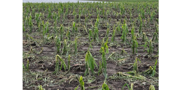 Storms during late last week left crops in an area of southern Minnesota affected by severe hail damage. (Photo: Liz Stahl, U of M Extension)