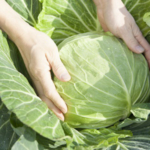 Cabbage. (Photo by hiroshiteshigawara/stock.adobe.com)