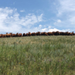 Make sure you don't overdraw your forage account. (NDSU photo)