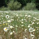 Oxeye daisy monoculture. (Courtesy of Irene Shonle)