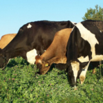Iowa State University Extension and Outreach and the Dairy Grazing Apprenticeship program will co-host a pasture walk Aug. 21 near Garnavillo, from 11 a.m. to 2:30 p.m., at the Andy Schaefer dairy farm. (Courtesy of Iowa State University Extension and Outreach)