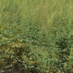 Iowa State University Extension and Outreach will host a herbicide resistance management field day June 25, 5:30-7:30 p.m. at the A. Knaphus farm located 1.5 miles south of McCallsburg on County Road S27.