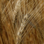 Scientists with the USDA's Agricultural Research Service in Manhattan have found a wheat gene that, when 'shut off', results in resistance to Fusarium head blight, a crippling fungal disease. (Courtesy of K-State Research and Extension)