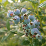 Protect ripening blueberries, tart cherries and summer raspberries; the SWD population surge is on. (Photo by Rufus Isaacs, MSU)