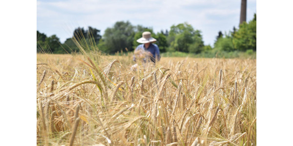 Barley harvest in Halle, Germany. (MLU / Nadja Sonntag)