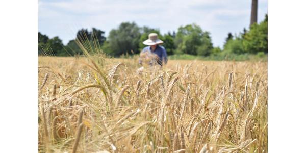 Barley harvest in Halle, Germany. (MLU / Nadja Sonntag)