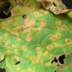 Downy mildew lesions on a cucumber leaf. (Photo by Mary Hausbeck, MSU)