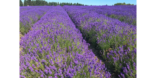 Learn how to grow lavender at field day | Morning Ag Clips