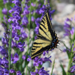 Two-tailed swallowtail, Papilio multicaudata. (Photo: Lisa Mason)
