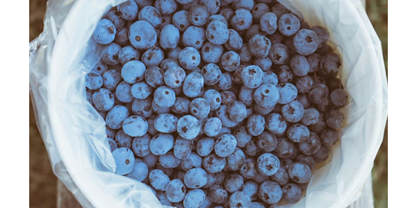 "Photo from MSU Extension video, ""Blueberry-Specific Food Safety."""