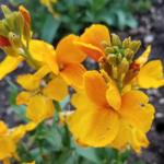 Cheiranthus 'Sugar Rush Orange' from Floranova. (Courtesy of CSU Extension)