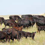 Plan to attend the 19th annual Nebraska Grazing Conference August 12-14 in Kearney. (Photo credit Troy Walz)