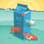 A2 milk comes from cows with a natural genetic variation that gives their milk a slightly different protein ratio than conventional milk. (Illustration by Danielle Lamberson Philipp)