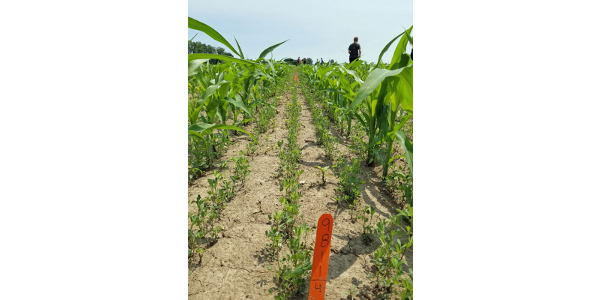 Mark your calendars for the Forage Research Field Day on Wednesday, July 31, 2019, from 9 a.m. – 2 p.m. at the Michigan State University Agronomy Farm, 4450 Beaumont Road, Lansing, MI 48910. (Photo by Kim Cassida, MSU Extension)
