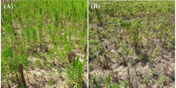 Figure 1. Glyphosate-resistant horseweed control with (A) Roundup PowerMax at 32 fl oz/A plus AMS and (B) 2,4-D ester 1 pt/A plus Roundup PowerMax at 32 fl oz plus AMS, 14 days after treatment. (Photo by Christy Sprague, MSU)