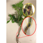 Figure 1. Soybean plant with dark discoloration at the soil surface. Dissection of this area shows two larvae, assumed to be in the third instar. (Courtesy of UNL)