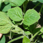 Soybean aphids on leaves. (Photo by Chris DiFonzo, MSU Entomology)