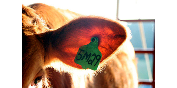 USDA will require electronic ear tags for most cattle