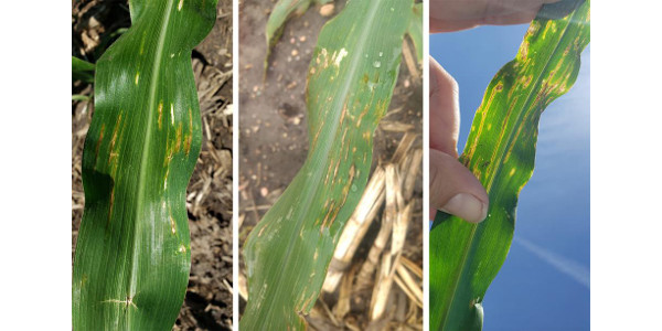 Figure 1. Bacterial leaf streak observed on the lower leaves of plants in south central Nebraska corn fields. Yellow discoloration is more evident when backlit by the sun (right) and is a common symptom of the disease. (Courtesy of UNL)